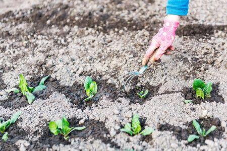 leaf vegetable: young spinach leaf on vegetable garden