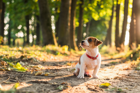 autumn colour: Jack russel puppy on summer alley. Sunny day in the green park