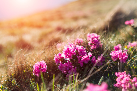 Beauty rhododendron flowers in high mountains glowing by sunligth