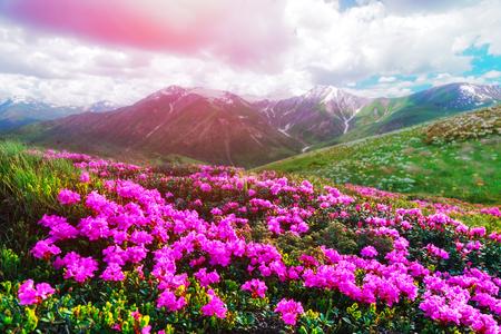 Erstaunliche rosa Rhododendron Blumen auf Sommer Berg. Dramatischer Himmel und bunter Sonnenuntergang