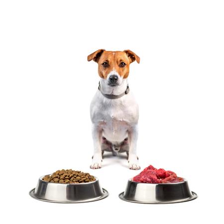 jack russel with food isolated on white background Lizenzfreie Bilder