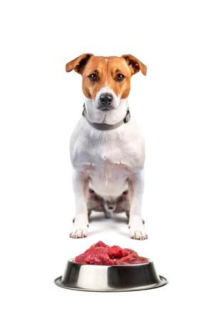 Jack Russel mit Essen isoliert auf weißem Hintergrund
