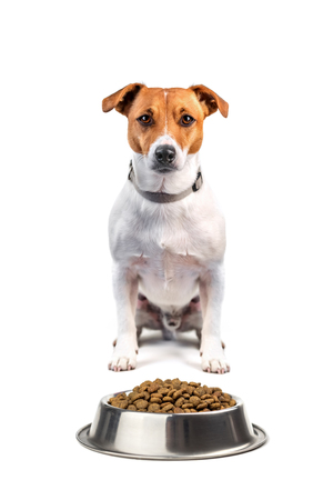 jack russel with food isolated on white background Stock Photo