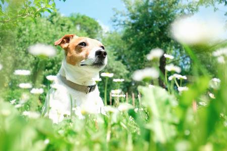 White jack russel terrier in flowers. Lizenzfreie Bilder