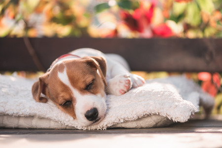 jack russel terrier on autumn terrace