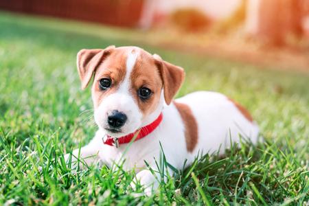 jack russel puppy on green lawn Lizenzfreie Bilder