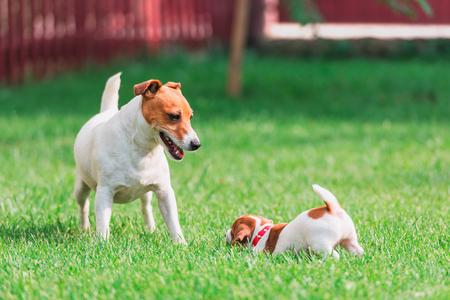 Jack Russel Terrier auf Frühling Rasen Lizenzfreie Bilder