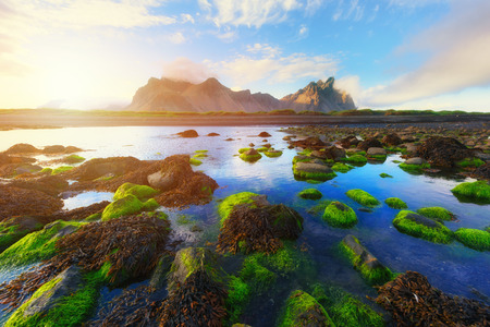 Famous Stokksnes mountains and green water-plants, Iceland.