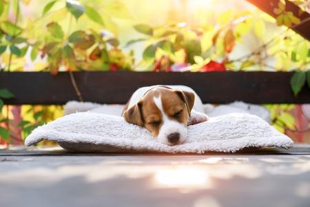 Jack Russel Terrier auf Herbstterrasse