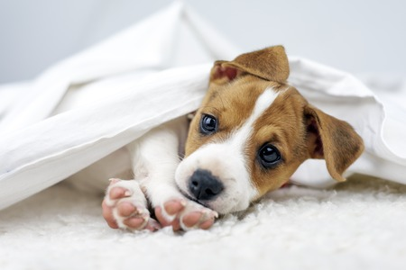 Jack russel terrier puppy Lizenzfreie Bilder