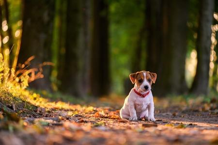 Jack Russel Welpen auf Herbst Gasse