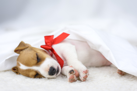 jack russel puppy with red bow Stock Photo