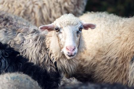 Herd of sheeps on mountains farm closeup.
