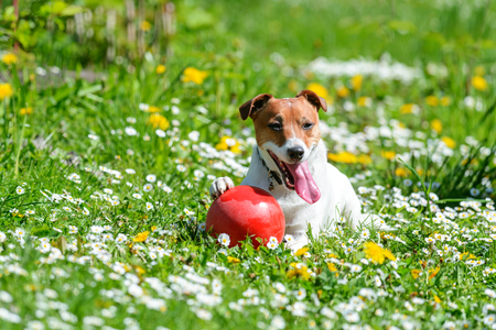 Jack russel terrier puppy on flower meadow playing with red ball. Happy Dog with funny gaze Standard-Bild