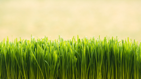Fresh green grass background. Can be used like natural easter backdrop Standard-Bild