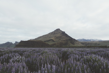 Typical Iceland landscape with mountains and lupine flowers field. Summer time Standard-Bild