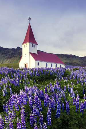 Lutheran Myrdal church surrounded by blooming lupine flowers, Vik, Iceland. Standard-Bild