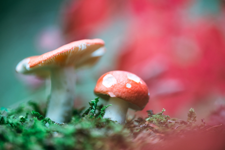 White mushrooms with red cap in green moss closeup Standard-Bild