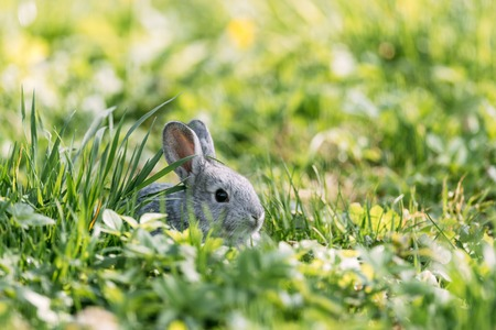 Small grey rabbit in green grass closeup. Can be used like Easter background. Animal photography Standard-Bild