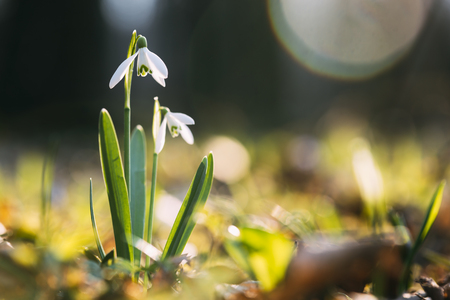 Snowdrop flower on spring meadow forest closeup. Macro nature photography Standard-Bild