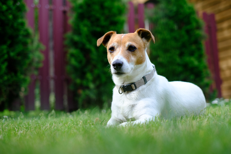Jack russel terrier on lawn near house. Happy Dog with serious gaze