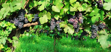 Blue grape branchs closeup. Vineyard on Italy hills. Vine making background