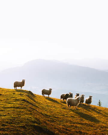 Herd of sheeps in foggy autumn mountains. Carpathians, Ukraine, Europe. Landscape photography