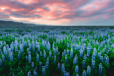 Typical Iceland landscape with mountains and lupine flowers field. Summer time Stock Photo