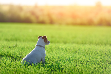 Jack russel terrier on green field. Happy Dog with serious gaze