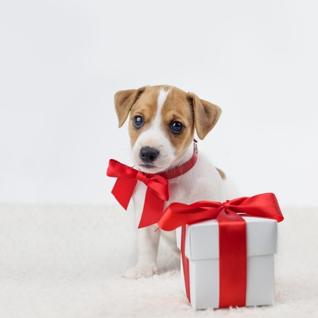 Jack russel puppy with red bow and gift box laying on the white bed.
