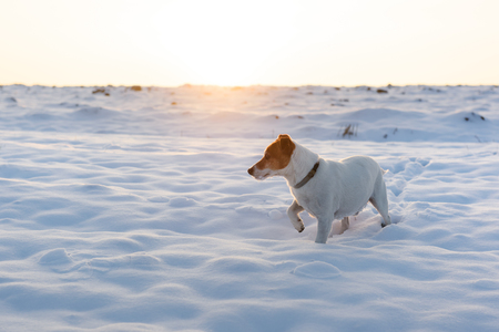 White jack russell terrier puppy on snowy field. Adult dog with serious gaze