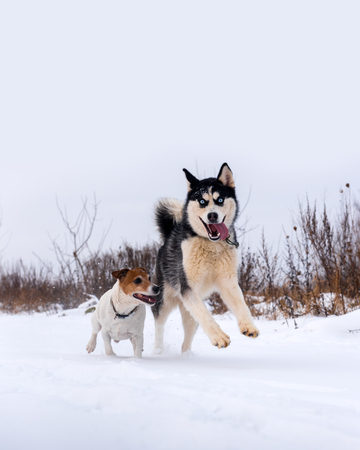 Siberian husky and jack russell terrier dogs playing on winter field. Happy puppys in fluffy snow.
