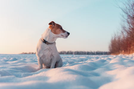 White jack russel terrier puppy on snowy field. Adult dog with serious gaze Stock Photo