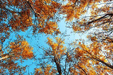 Orange birch tree with a blue sky on autumn forest. Nature beauty background Standard-Bild - 130760035