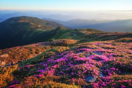 Mountains landscape with beautiful pink rhododendron flowers Standard-Bild - 130760044