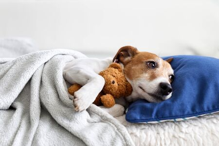 Sleeping jack russel terrier puppy dog with teddy bear toy Stock Photo