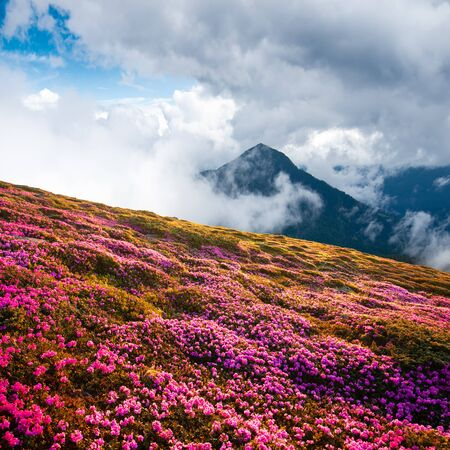 Dramatic unusual scene with rhododendrons bloom in a beautiful location in the Carpathian mountains. Blooming flowers in the foggy mountains meadow Standard-Bild - 130760055