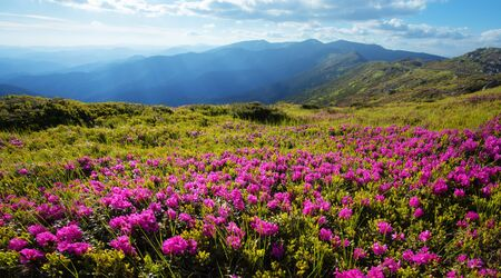 Pink rhododendron flowers covered mountains meadow in summer time Standard-Bild - 130760056
