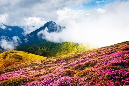 Colorful blooming rhododendron flowers in summer field in the Carpathian mountains. Splendid nature outdoor scene. World beauty concept background Standard-Bild - 130760060