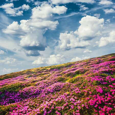 Awesome summer sunny landscape with fluffy clouds in blue sky and blooming pink rhododendron flowers covered mountains hills around Standard-Bild - 130760063
