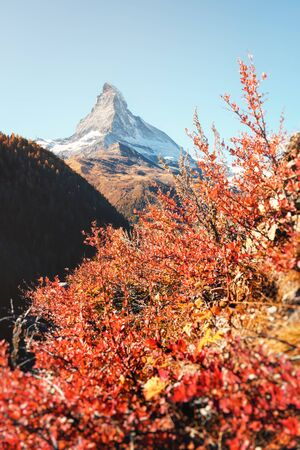 Epic colorful scene with Matterhorn Cervino peak and red blooming bush. Swiss Alps, Switzerland, Europe