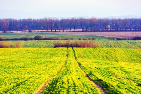 Green rows of young wheat on moravian agriculture field in spring time, Czech republic Standard-Bild - 130760252
