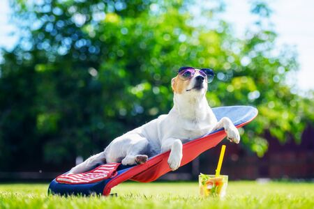 Jack russel terrier dog lies on a deck-chair with cocktail in sunglasses. Relax and vacation concept