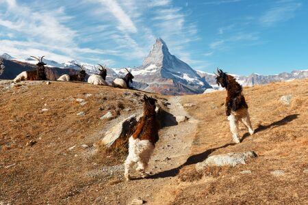 Fighting goats on Matterhorn Cervino peak background near Stellisee lake in Swiss Alps. Zermatt resort location, Switzerland. Landscape photography Stok Fotoğraf