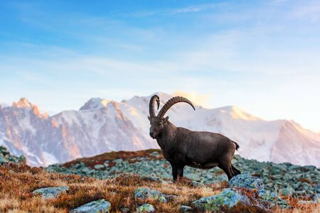 Wild goat (Alpine Carpa Ibex) in the France Alps mountains.