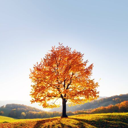 Majestic beech tree with sunny beams at autumn mountain valley.