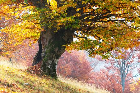 Majestic old beech tree with yellow and orange foliage at autumn forest.