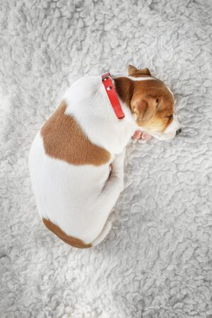 Jack russell terrier puppy sleeping on white carpet on the floor. Small perky dog. Animal pets concept