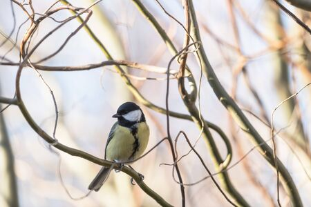 Small parus with yellow belly on tree twig closeup. Birds photography