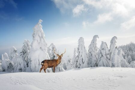 Fantastic winter landscape with snowy trees and wild deer. Carpathian mountains, Ukraine, Europe. Christmas holiday concept